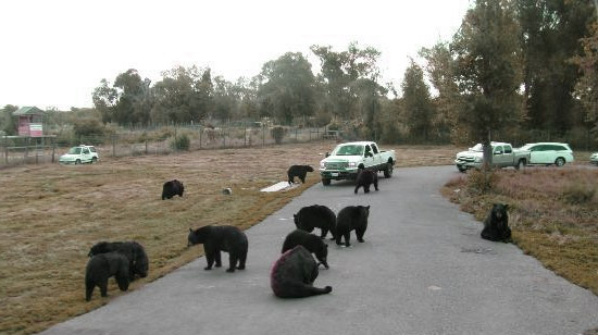 traffic was backed up for 77 miles because of this bear blockade.