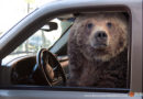 At a Stoplight, a Bear Pulls Up Next to You: What to Do